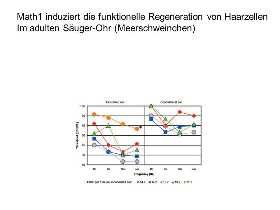 Math1 induziert die funktionelle Regeneration von Haarzellen