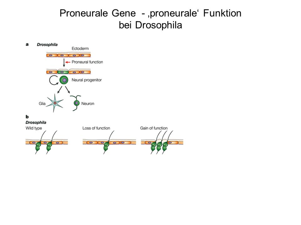 Proneurale Gene - 'proneurale' Funktion bei Drosophila