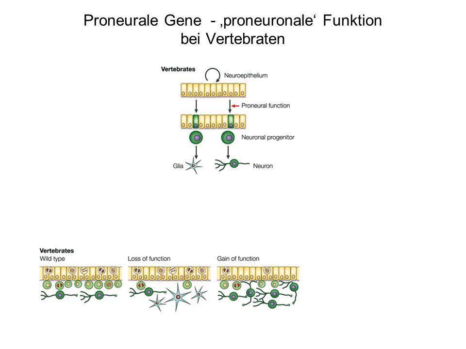 Proneurale Gene - 'proneuronale' Funktion bei Vertebraten