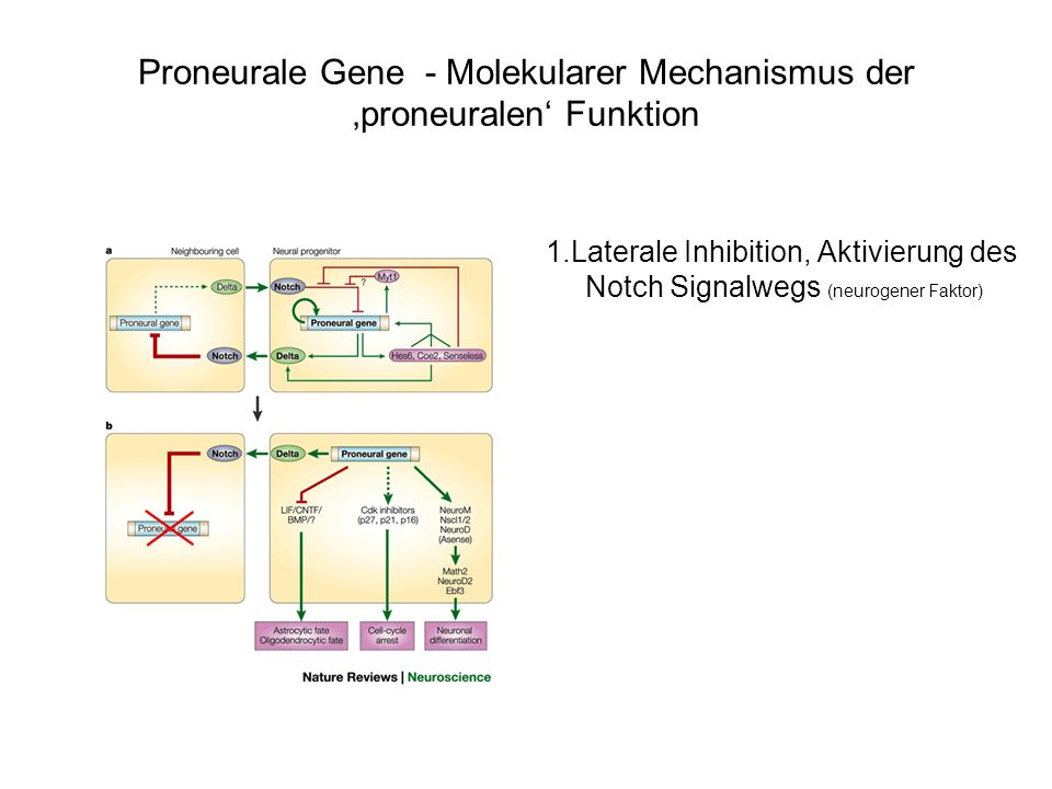 Proneurale Gene - Molekularer Mechanismus der 'proneuralen' Funktion