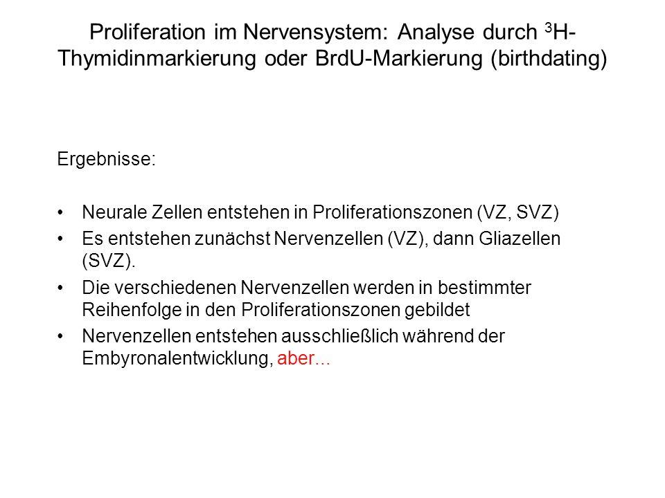 Proliferation im Nervensystem: Analyse durch 3H-Thymidinmarkierung oder BrdU-Markierung (birthdating)