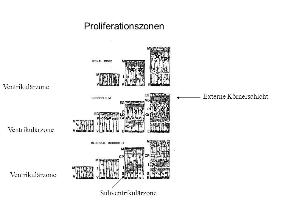 Proliferationszonen Ventrikulärzone Externe Körnerschicht