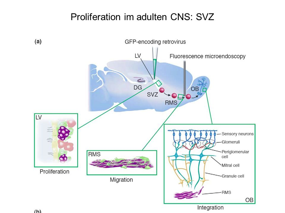 Proliferation im adulten CNS: SVZ