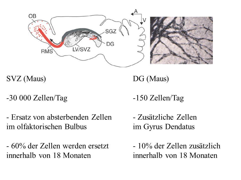SVZ (Maus) 30 000 Zellen/Tag. - Ersatz von absterbenden Zellen. im olfaktorischen Bulbus. - 60% der Zellen werden ersetzt.