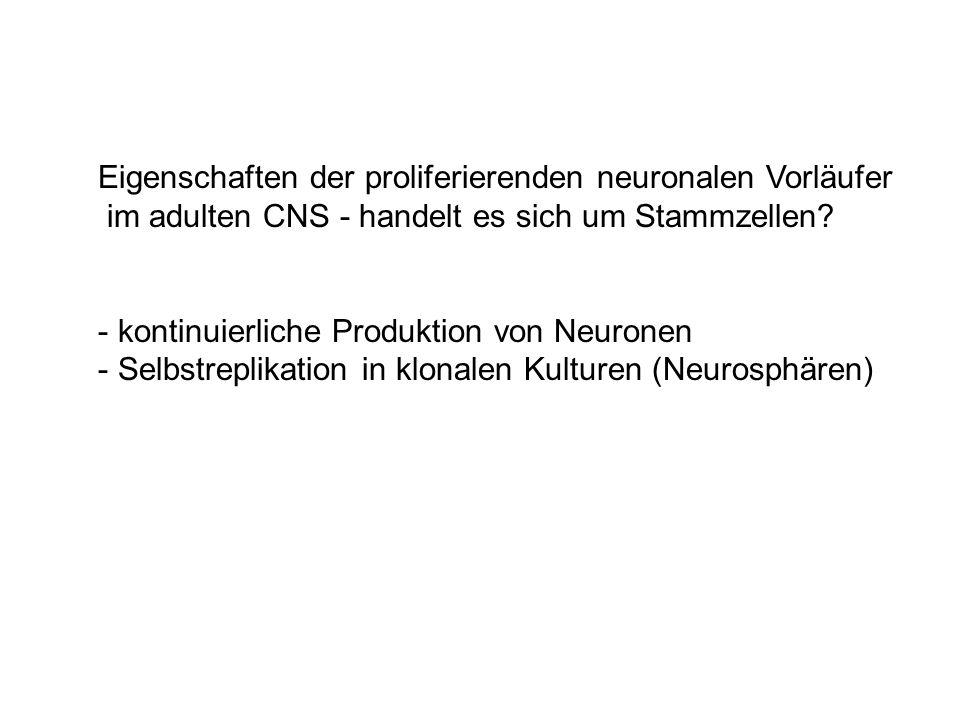 Eigenschaften der proliferierenden neuronalen Vorläufer