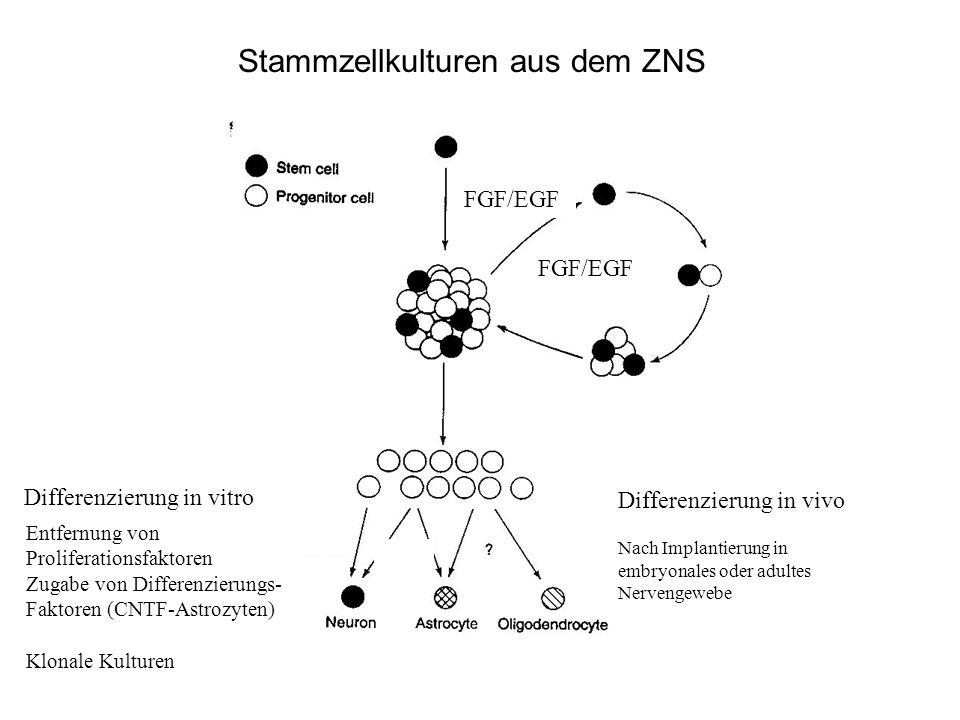 Stammzellkulturen aus dem ZNS