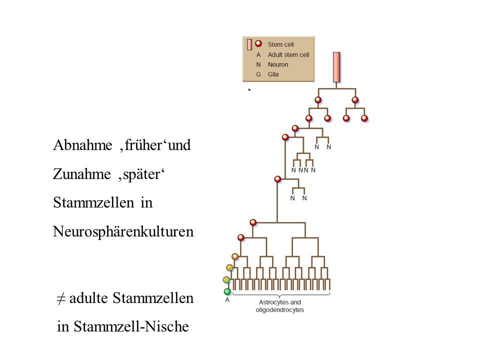 Abnahme 'früher'und Zunahme 'später' Stammzellen in. Neurosphärenkulturen. ≠ adulte Stammzellen.