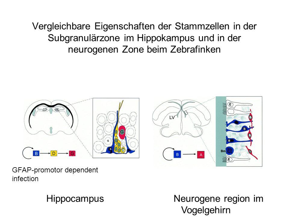 Hippocampus Neurogene region im Vogelgehirn