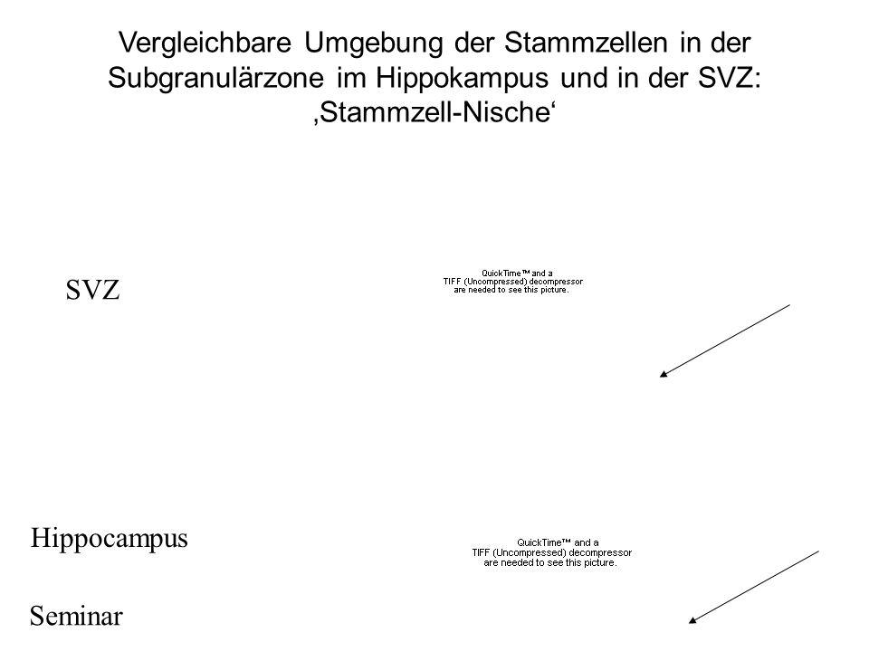 Vergleichbare Umgebung der Stammzellen in der Subgranulärzone im Hippokampus und in der SVZ: 'Stammzell-Nische'
