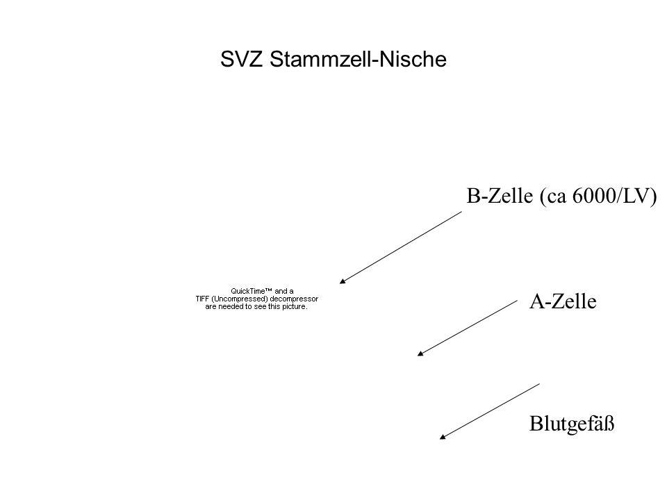 SVZ Stammzell-Nische B-Zelle (ca 6000/LV) A-Zelle Blutgefäß