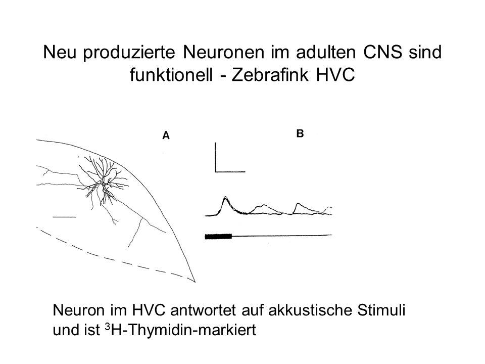 Neu produzierte Neuronen im adulten CNS sind funktionell - Zebrafink HVC