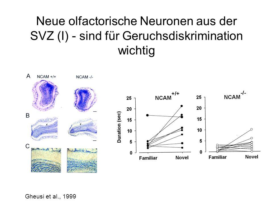 Neue olfactorische Neuronen aus der SVZ (I) - sind für Geruchsdiskrimination wichtig