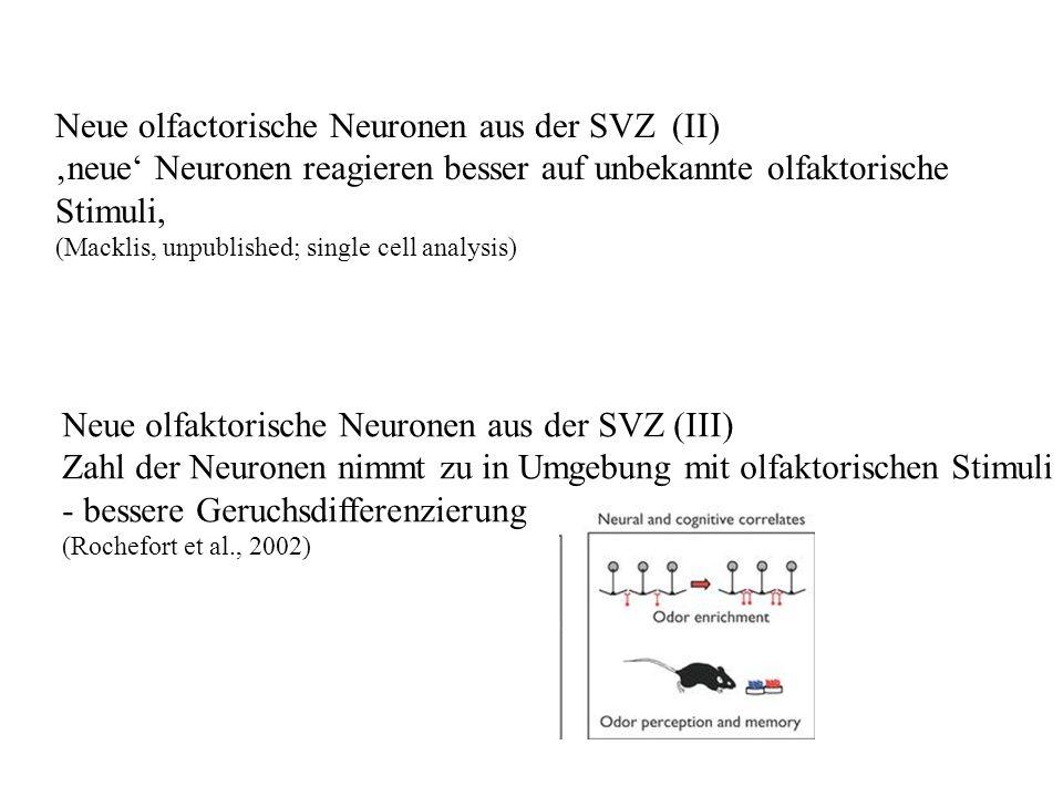 Neue olfactorische Neuronen aus der SVZ (II)