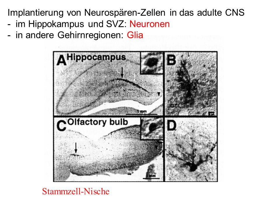Implantierung von Neurospären-Zellen in das adulte CNS