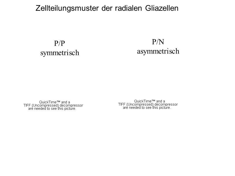 Zellteilungsmuster der radialen Gliazellen