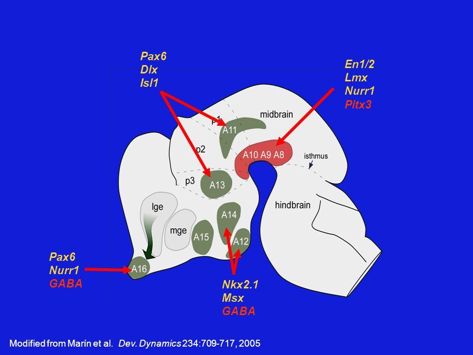 Pax6 Dlx En1/2 Isl1 Lmx Nurr1 Pitx3 Pax6 Nurr1 GABA Nkx2.1 Msx GABA