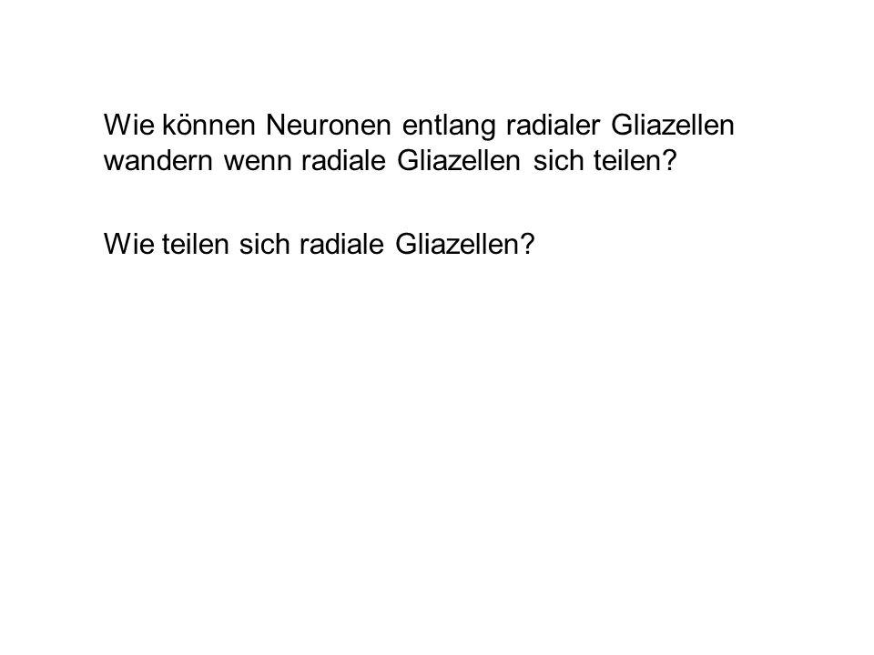 Wie können Neuronen entlang radialer Gliazellen wandern wenn radiale Gliazellen sich teilen