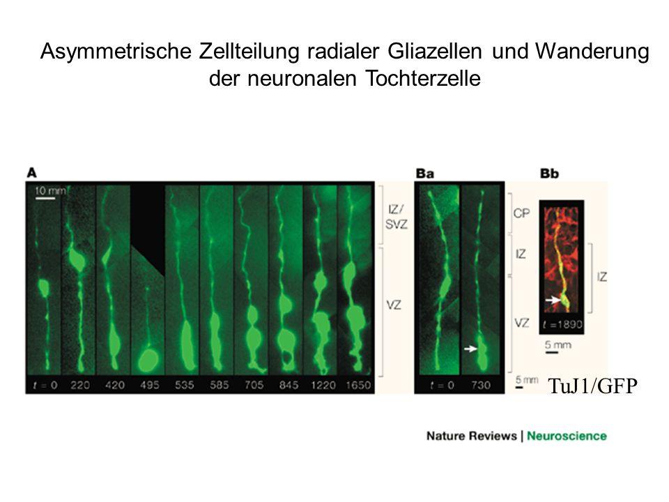 Asymmetrische Zellteilung radialer Gliazellen und Wanderung