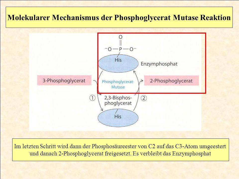 Molekularer Mechanismus der Phosphoglycerat Mutase Reaktion