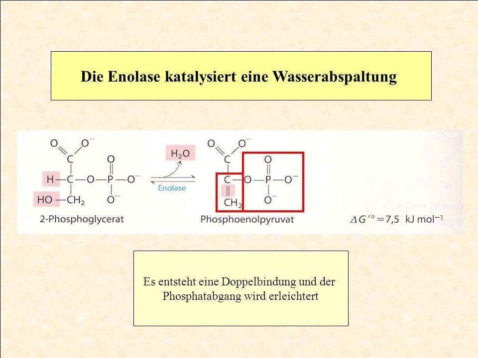 Die Enolase katalysiert eine Wasserabspaltung