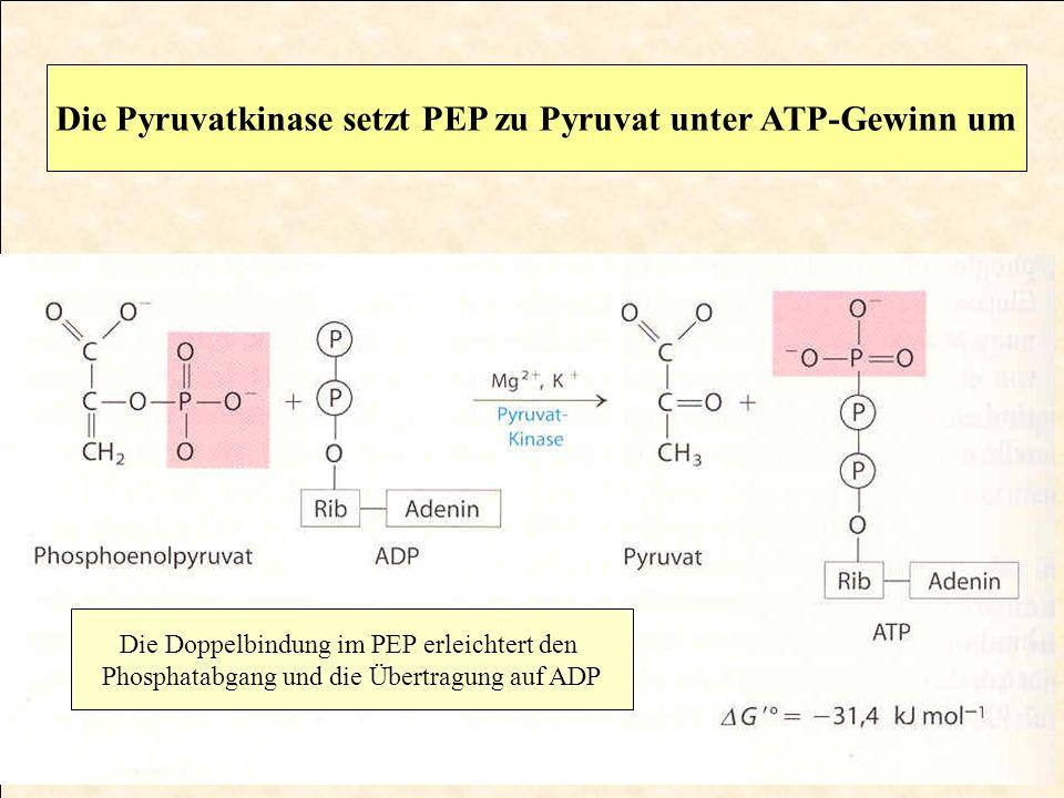 Die Pyruvatkinase setzt PEP zu Pyruvat unter ATP-Gewinn um