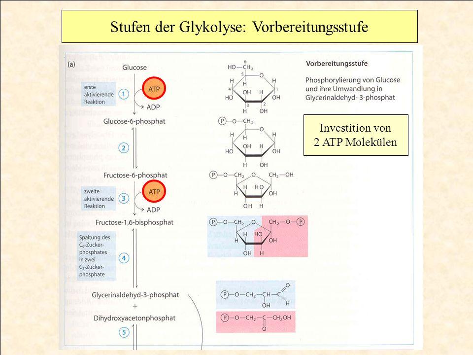 Stufen der Glykolyse: Vorbereitungsstufe
