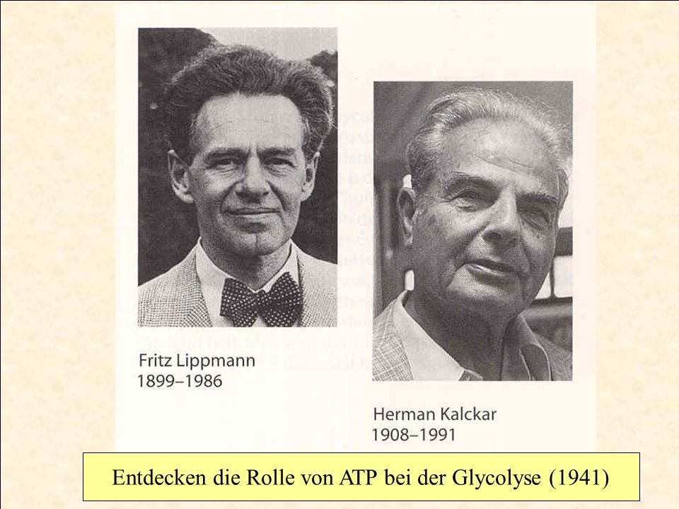 Entdecken die Rolle von ATP bei der Glycolyse (1941)