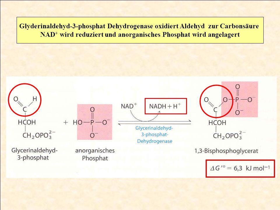 NAD+ wird reduziert und anorganisches Phosphat wird angelagert