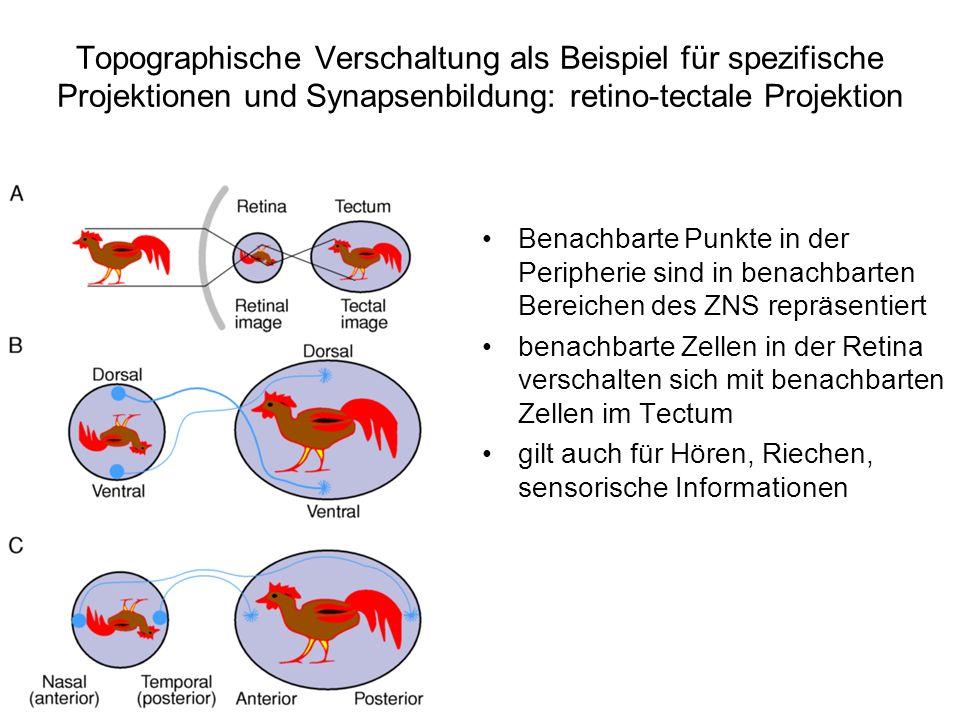 Topographische Verschaltung als Beispiel für spezifische Projektionen und Synapsenbildung: retino-tectale Projektion