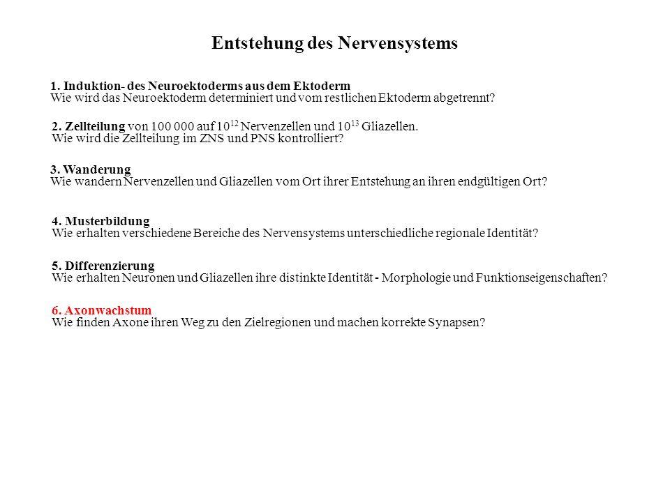 Entstehung des Nervensystems