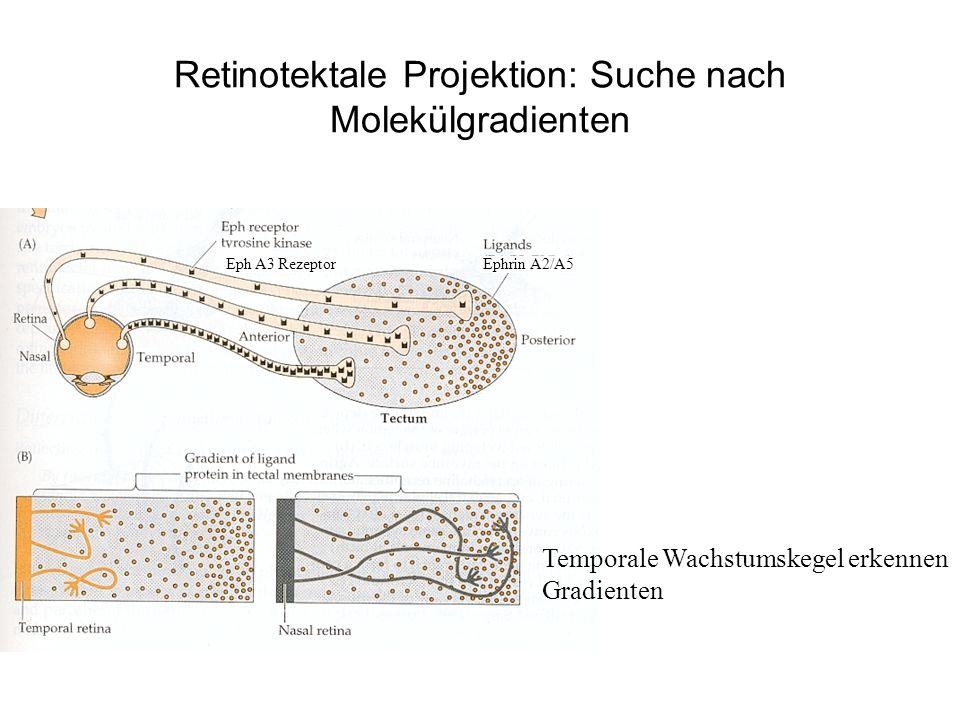Retinotektale Projektion: Suche nach Molekülgradienten