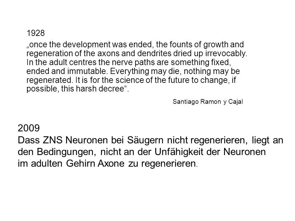 1928 2009 Dass ZNS Neuronen bei Säugern nicht regenerieren, liegt an