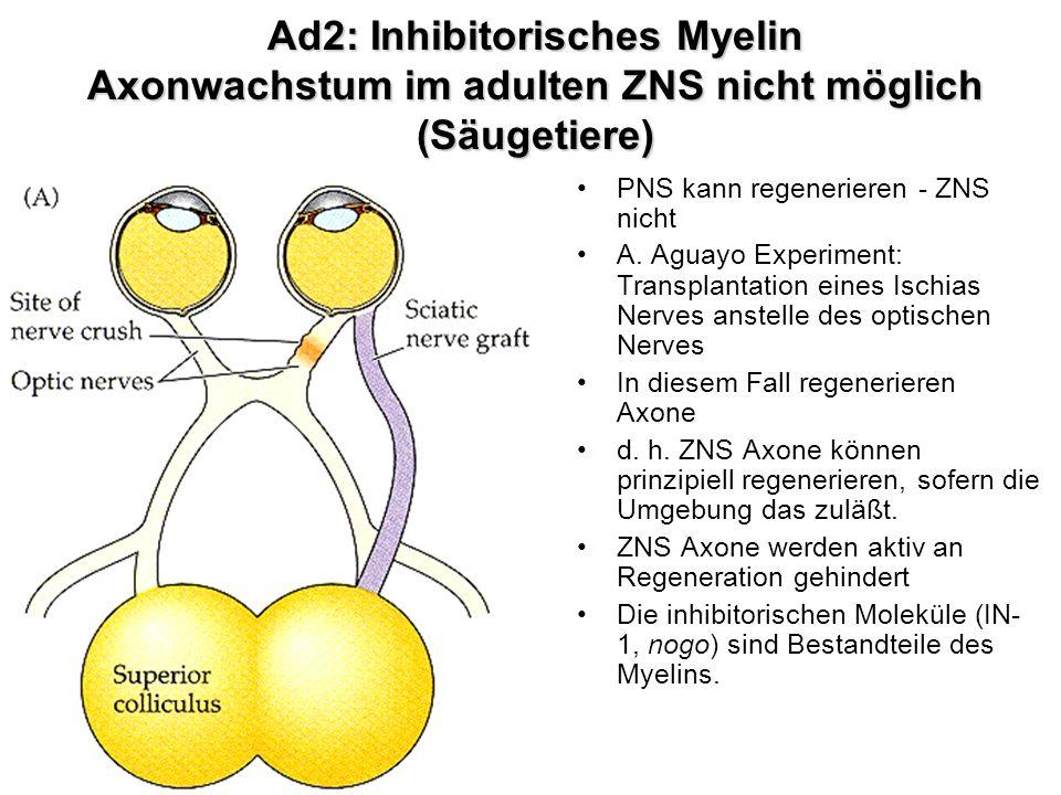 Ad2: Inhibitorisches Myelin Axonwachstum im adulten ZNS nicht möglich (Säugetiere)