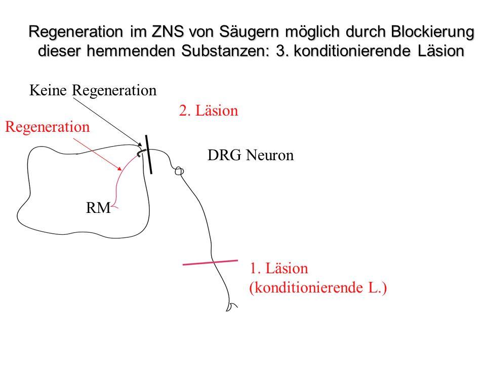 Regeneration im ZNS von Säugern möglich durch Blockierung dieser hemmenden Substanzen: 3. konditionierende Läsion
