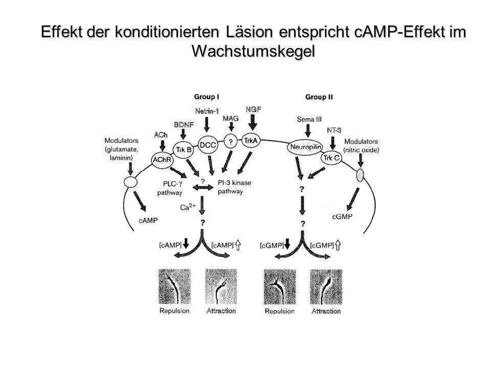 Effekt der konditionierten Läsion entspricht cAMP-Effekt im Wachstumskegel
