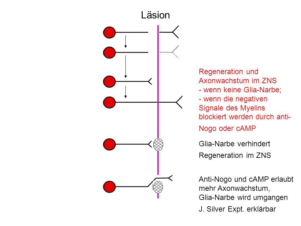 Läsion Regeneration und Axonwachstum im ZNS wenn keine Glia-Narbe;