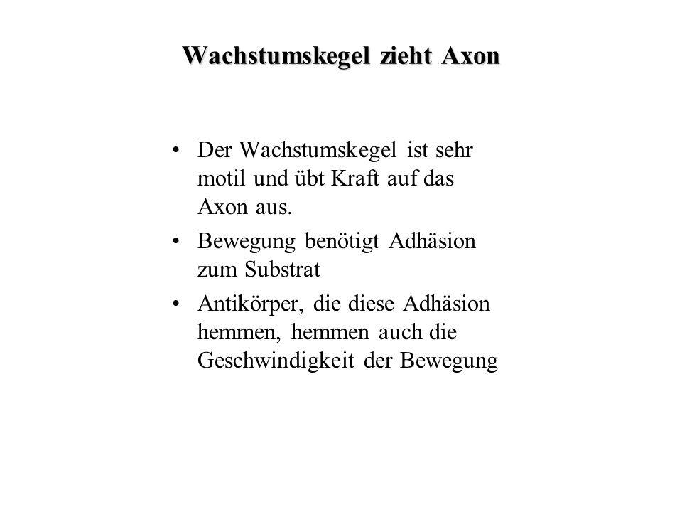 Wachstumskegel zieht Axon