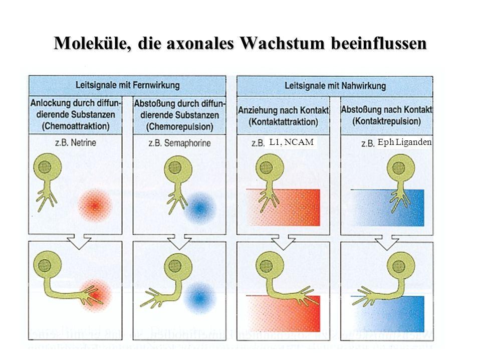 Moleküle, die axonales Wachstum beeinflussen