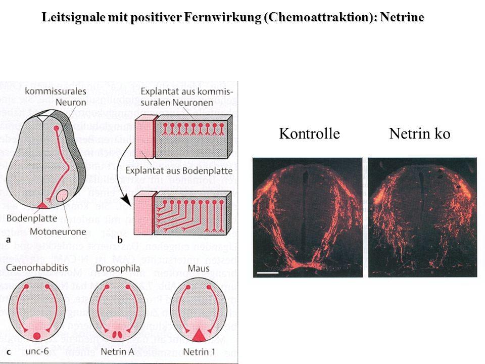 Leitsignale mit positiver Fernwirkung (Chemoattraktion): Netrine