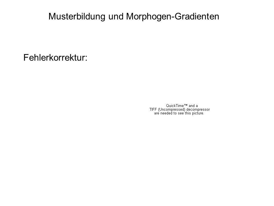 Musterbildung und Morphogen-Gradienten