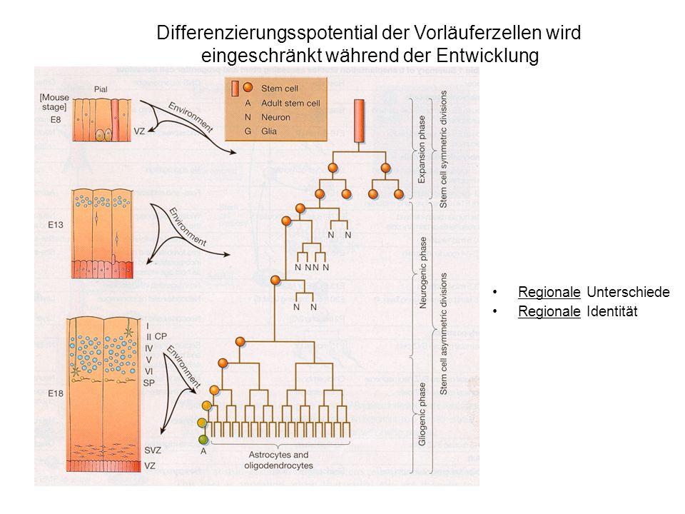 Differenzierungsspotential der Vorläuferzellen wird