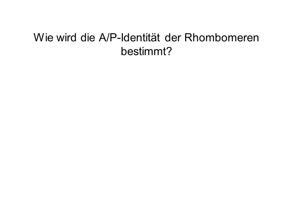 Wie wird die A/P-Identität der Rhombomeren bestimmt