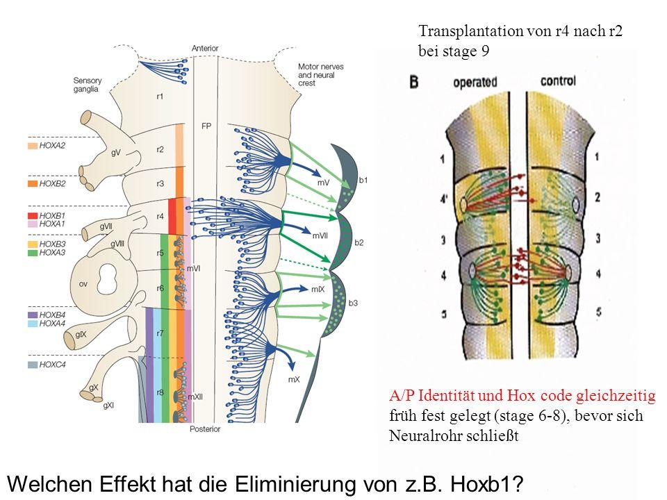 Welchen Effekt hat die Eliminierung von z.B. Hoxb1