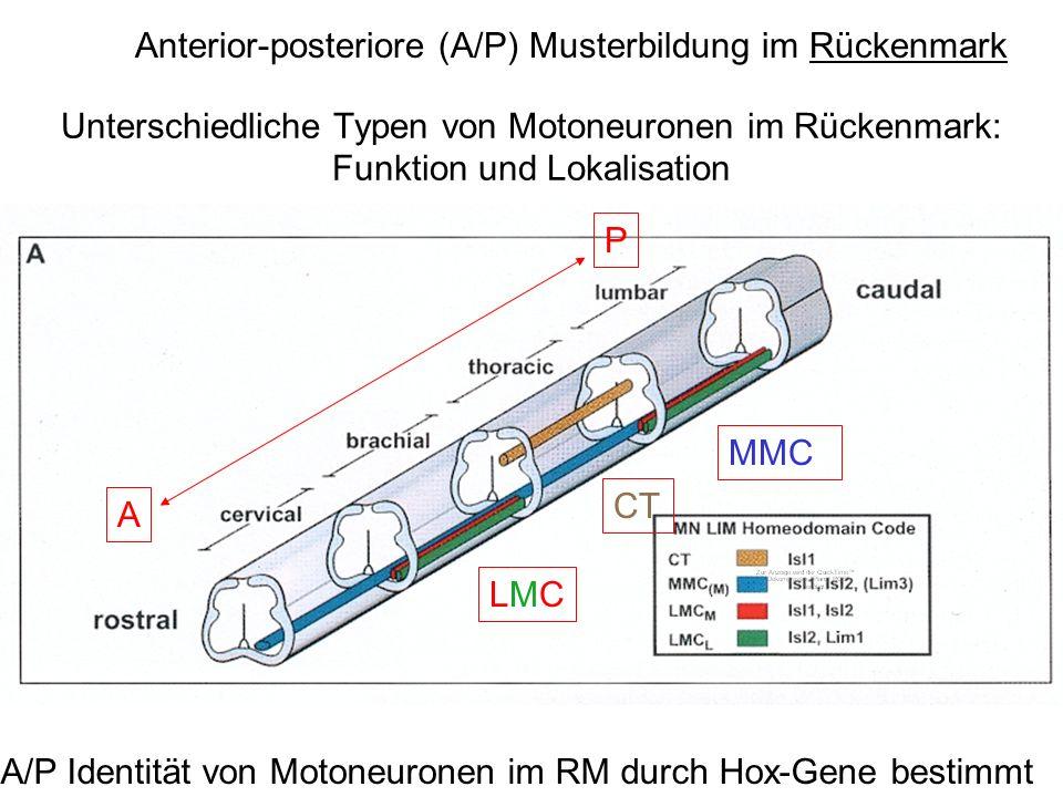 Anterior-posteriore (A/P) Musterbildung im Rückenmark