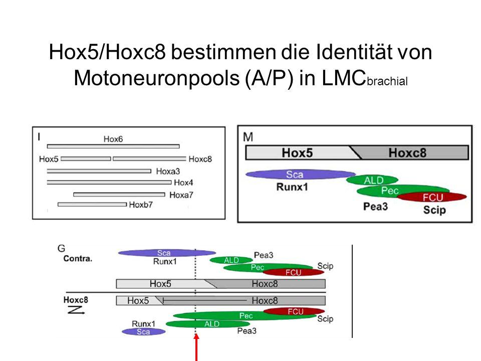 Hox5/Hoxc8 bestimmen die Identität von Motoneuronpools (A/P) in LMCbrachial