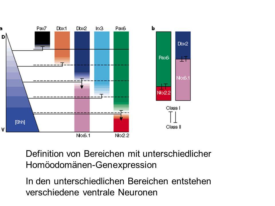 Definition von Bereichen mit unterschiedlicher Homöodomänen-Genexpression