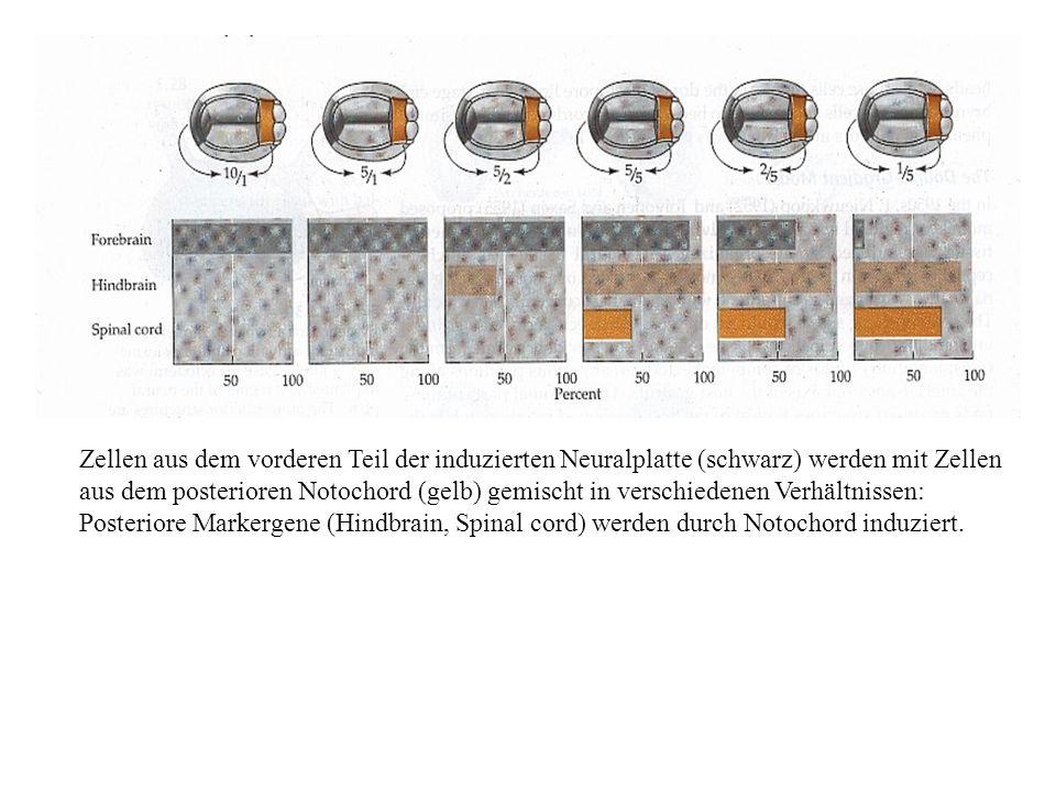Zellen aus dem vorderen Teil der induzierten Neuralplatte (schwarz) werden mit Zellen