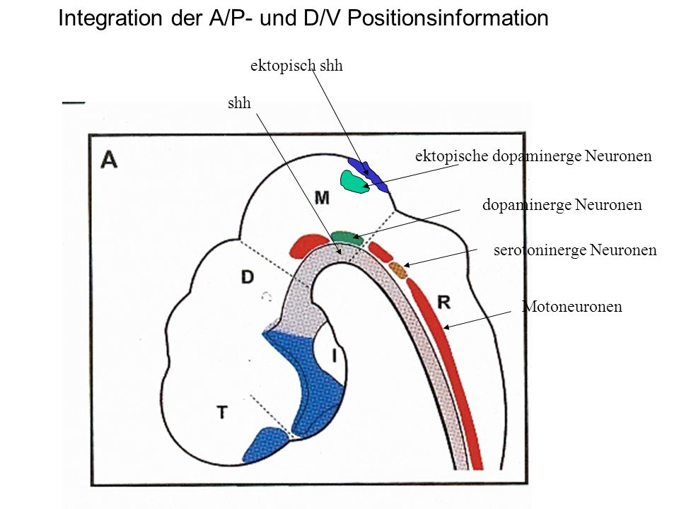 Integration der A/P- und D/V Positionsinformation