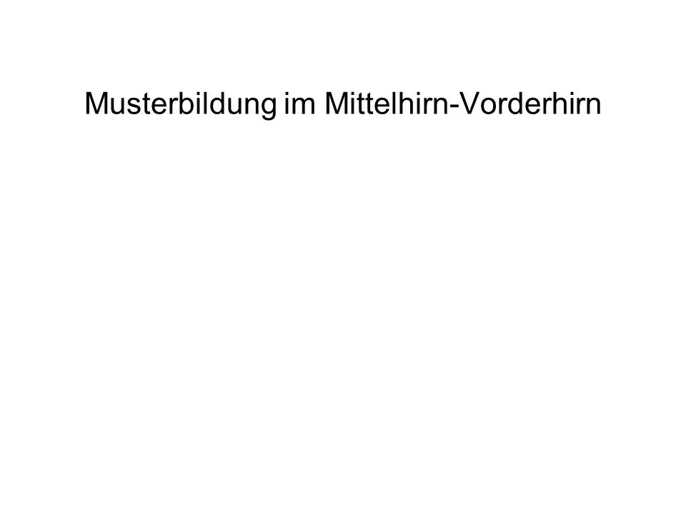 Musterbildung im Mittelhirn-Vorderhirn