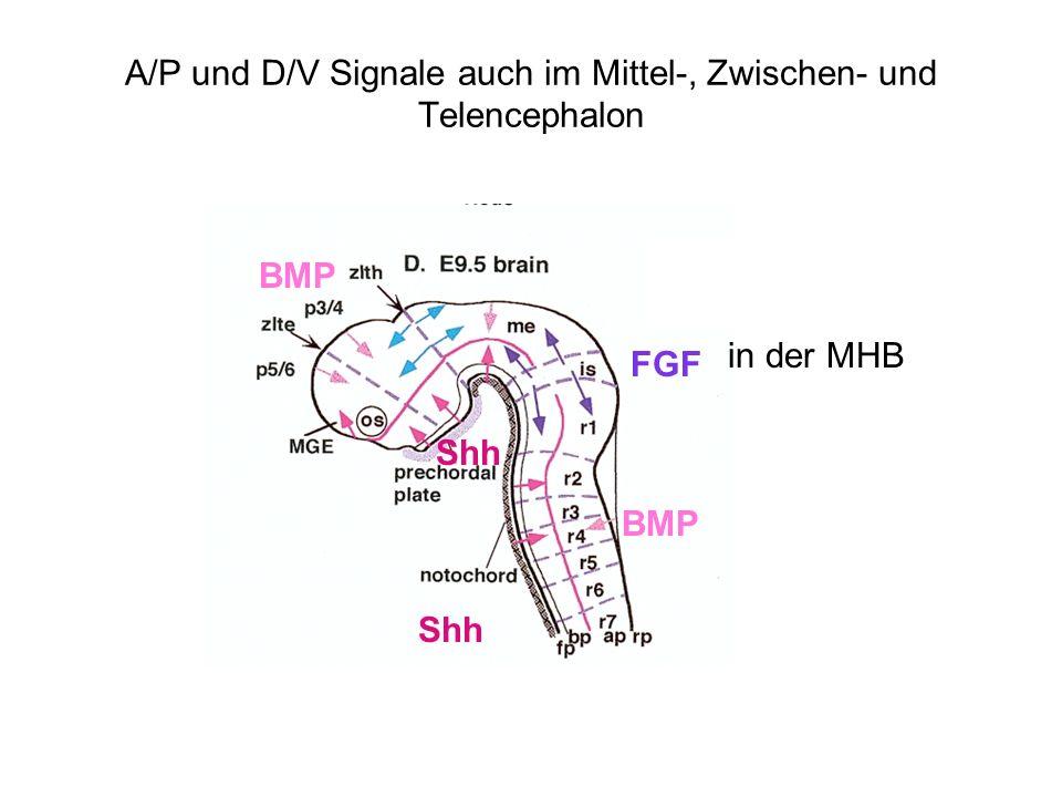 A/P und D/V Signale auch im Mittel-, Zwischen- und Telencephalon
